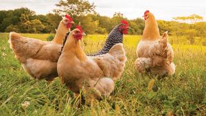 poultrynsect:-larvas-de-insetos-vivas-para-galinhas-organicas.-webinar-em-12-de-abril